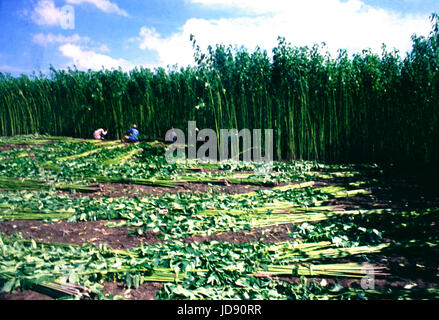 jute is called the golden fibre of bangladesh wich is largely cultivate here. its a very iportan potential fibre - Stock Photo
