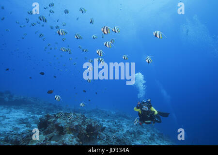 Male scuba diver shooting school of Schooling bannerfish (Heniochus diphreutes) over coral reef in blue water, Indian - Stock Photo