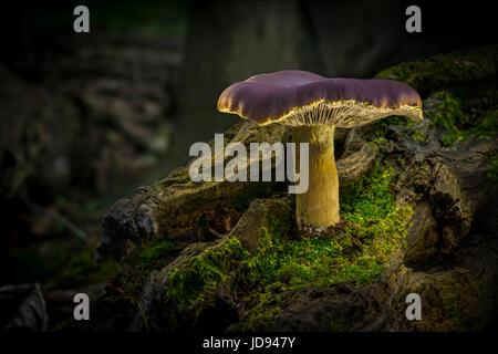Lone Mushroom On Fallen Mossy Log n Dark Forest - Stock Photo