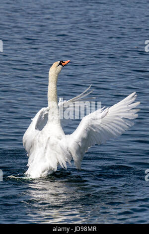 Swan drying its wings on lake in Southport, Merseyside. - Stock Photo