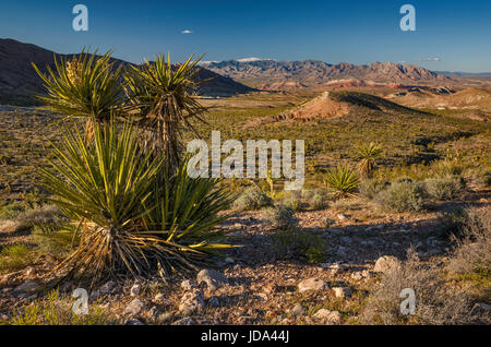 Mojave yucca (Yucca schidigera), Virgin Mountains in distance, from Gold Butte Road, Gold Butte National Monument, - Stock Photo