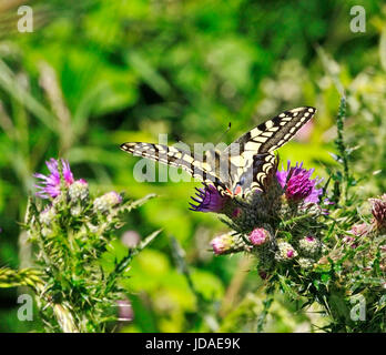 A view of a Swallowtail butterfly, Papilio machaon, feeding on thistle flowers on the Norfolk Broads, England, United - Stock Photo