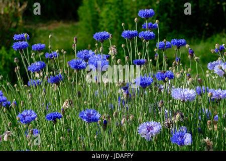 Cornflowers (centaurea cyanus). Suzanne's vegetable garden, Le Pas, Mayenne, France. - Stock Photo