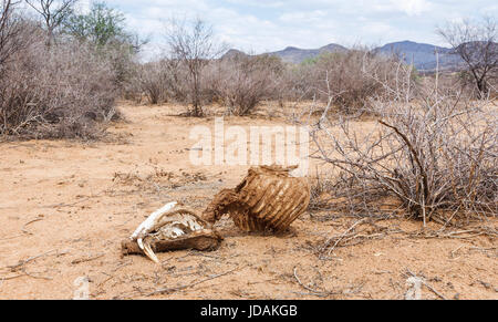 Skull and rib cage of a dead warthog carcass in arid scrubland landscape in GocheGanas nature reserve near Windhoek, - Stock Photo