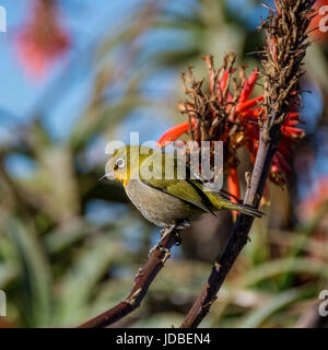 A Cape White-eye bird perched on an aloe plant in Southern Africa - Stock Photo