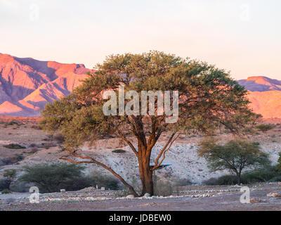 Tree in Namib-Naukluft National Park, Namibia, Africa, at sunset. - Stock Photo
