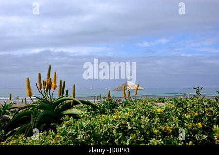 Durban South Africa. Aloes start to flower along the coast whilst yachts enjoy a morning sail in the mild early - Stock Photo