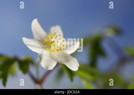 Wood anemone known also as windflower, thimbleweed and smell fox - Stock Photo