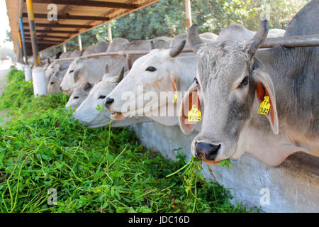 A perspective view of Cows standing in stable line and eating fresh green grass and one out of them posing towards - Stock Photo