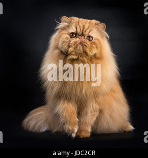 Red Persian sitting isolated on black background facing camera
