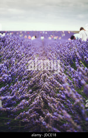 Blossoming lavender field, people hand picking lavender on the background. Selective focus. - Stock Photo