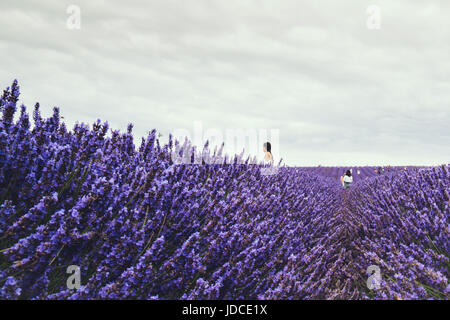 Landscape view of Hitchin lavender field and visitors. Lavender farm is a local attraction and is close to both - Stock Photo
