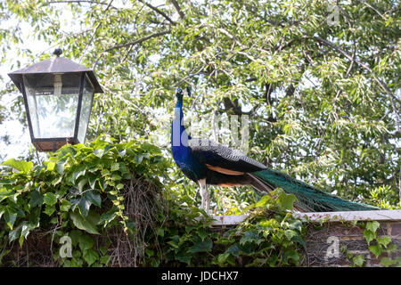 London, UK. 15th June, 2017. Peacock and street lamp - Stock Photo