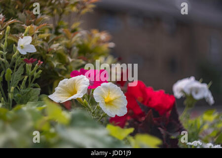 Lovely summer flowers in the Yorkshire town of Guiseley, near Leeds. - Stock Photo