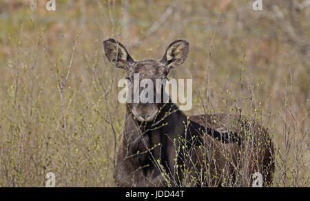 Elk (Alces alces) - Stock Photo