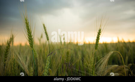 Spikelets of wheat in a field with grain, against a background of gray, blue, storm clouds, summer. - Stock Photo