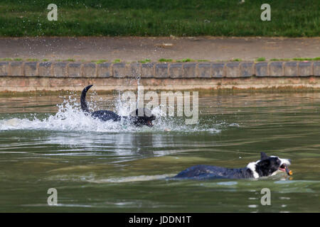 Abington Park, Northampton. 20th June 2017. Weather. Dogs making the most of the  cooler morning in Abington Park - Stock Photo