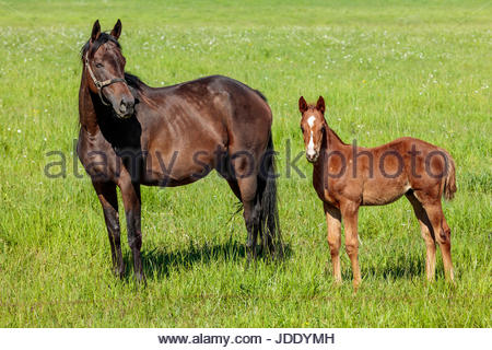 Mare and foal in spring on a farm in York Region near Toronto Ontario Canada horse horses - Stock Photo