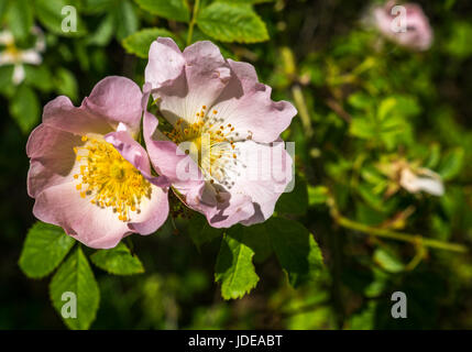 Close up of pink and yellow wild dog rose, Rosa canina, flowers, East Lothian, Scotland, UK, in summer - Stock Photo