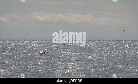 Close up of gannet, Morus bassana, flying across water, Firth of Forth, Scotland, UK - Stock Photo