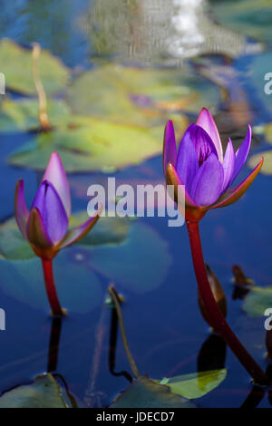 Purple water lily in a pond - Stock Photo