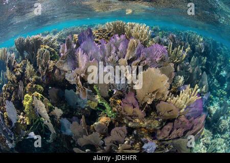 Caribbean Coral Reef with Venus Sea Fan, Gorgonia ventalina, Turneffe Atoll, Caribbean, Belize - Stock Photo