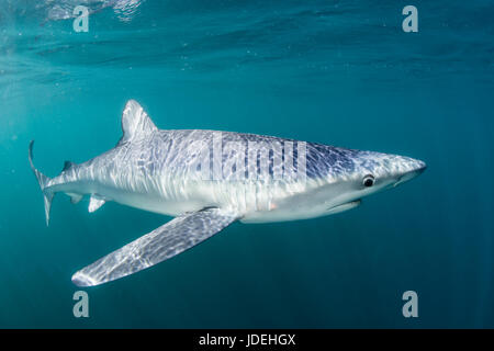 Blue Shark, Prionace glauca, Massachusetts, Cape Cod, USA - Stock Photo