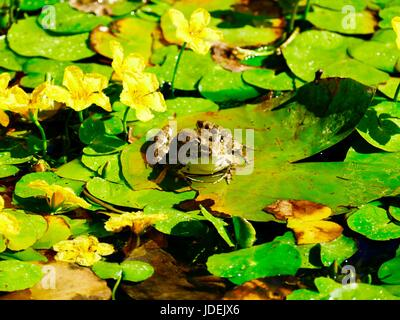 European edible frog resting on a lily pad in path of overhead sprinkler. Paris, France - Stock Photo