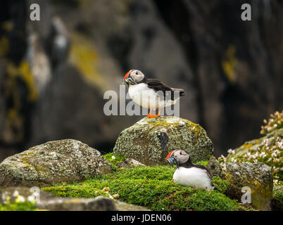 Close up of two puffins, Fratercula arctica, with sand eels in their beaks, on cliff top on Isle of May in Firth - Stock Photo