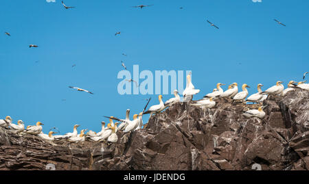 Close up of gannets, Morus bassanus, nesting at top of cliffs and flying around Bass Rock, Firth of Forth, Scotland, - Stock Photo