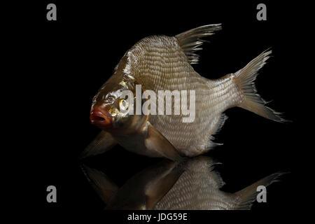Bream fish isolated on black background - Stock Photo
