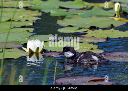 Common goldeneye (Bucephala clangula) duckling and white water lily flower on a pond - Stock Photo