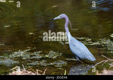 Little Blue Heron hunting in a Florida pond. - Stock Photo