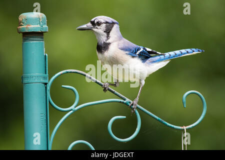Blue Jay perched on post. - Stock Photo