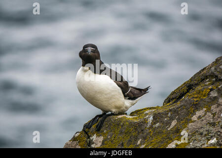 Solitary razorbill, Alca torda, on cliff edge, Isle of May, Firth of Forth, Scotland, UK - Stock Photo