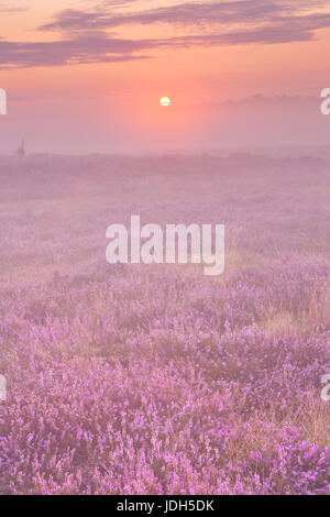 Blooming heather in The Netherlands on a beautiful foggy morning at sunrise. - Stock Photo