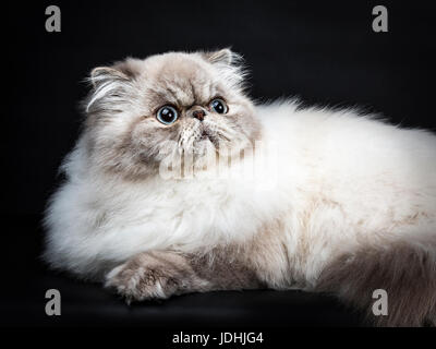 Close up from Tabby point Persian cat laying isolated on black background looking up - Stock Photo