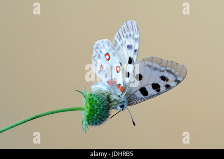 Mountain Apollo butterfly on Knautia arvensis, commonly known as field scabious - Stock Photo