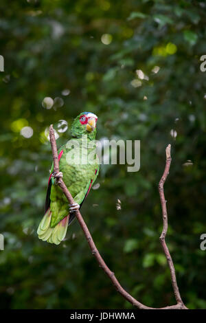 White-fronted Amazon Parrot Sitting in Branch, Mexico - Stock Photo