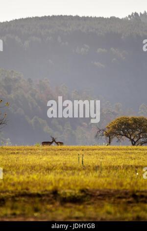 Grassland of Swaziland with two Blesboks, Mlilwane Wildlife Sanctuary, Africa - Stock Photo