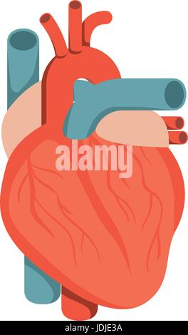 colorful silhouette heart system human body - Stock Photo