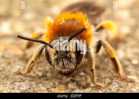 Orange Tailed Mining Bee, Andrena Haemorrhoa - Stock Photo