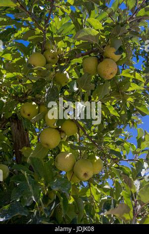 apples, Malus domestica, apple tree, apple orchard, Sebastopol, Sonoma County, California, United States, North - Stock Photo