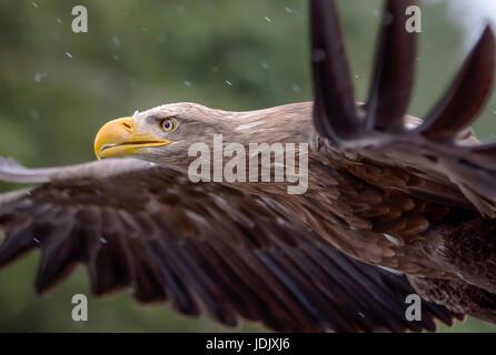 A White Tailed Sea Eagle in Flight - Stock Photo