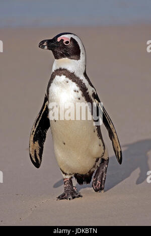 Glasses penguins on the beach - Africa, Brillenpinguine am Strand - Afrika - Stock Photo