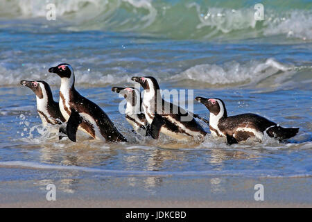 Glasses penguins on the beach - Africa, Brillenpinguine am Strand - Afrika - Stock Photo