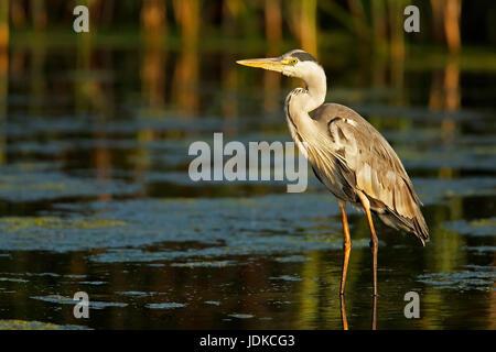 Grey heron - common heron - South Africa, Graureiher - Fischreiher - Suedafrika - Stock Photo