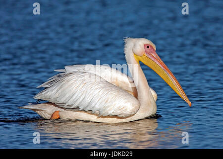 Pink pelican - South Africa, Rosa Pelikan - Suedafrika - Stock Photo