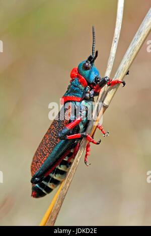 Grasshopper - grasshopper - South Africa, Grashuepfer - Heuschrecke - Suedafrika - Stock Photo