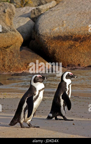 Two glasses penguins on the beach of Boulders - South Africa, Zwei Brillenpinguine am Strand von Boulders - Suedafrika - Stock Photo